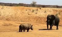 Voi châu Phi chịu 'nhún nhường' trước hai mẹ con tê giác