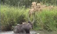Sư tử 'thủy chiến' với linh dương