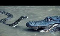 Cuộc 'thư hùng' giữa cá sấu và trăn