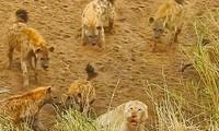 Linh cẩu bao vây, tấn công sư tử.