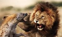 Đi một mình trước đàn sư tử, linh cẩu nhận cái kết đắng