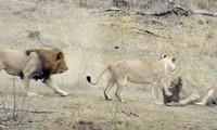 Sư tử đực lao tới cướp mồi của sư tử cái.
