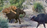 Trâu rừng tấn công sư tử để giải cứu cho voi con.