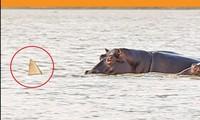 Cá mập bơi lạc vào vùng nước của hà mã