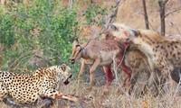 Báo săn bỏ chạy khi bị linh cẩu cướp mồi.