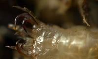 Ấu trùng quái vật 'ăn thịt' ếch bằng cách chui vào cơ thể