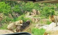 Sư tử tấn công trâu rừng.