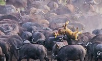 Đàn trâu rừng húc văng sư tử lên không trung.
