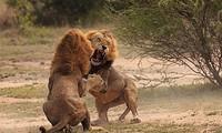 Sư tử ác chiến dữ dội.