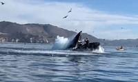 Cá voi lưng gù vô tình va trúng 2 người chèo thuyền.