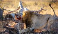 Sư tử đực giết linh cẩu.