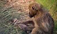 Khỉ đầu chó vô tình giết báo hoa mai con.
