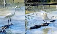 Diệc trắng thản nhiên 'cưỡi' cá sấu.