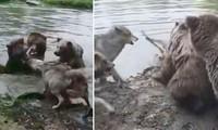 Bầy chó sói cố gắng ngăn cản gấu giết chết đồng loại nhưng bất thành.