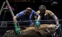 Các nhà cổ sinh vật học tin rằng, loài cá này đã chết vào cuối thời đại Mesozoi cho đến khi một cá thể sống được tìm thấy ở Nam Phi vào năm 1938.