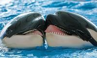 Cá voi sát thủ nhẹ nhàng trao nhau nụ hôn.