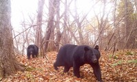 Gấu đen Nhật Bản.Ảnh: Bushnell
