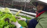 Mưa to thất thường trong dịp Tết khiến người trồng rau bị thiệt hại