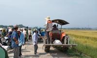 Nông dân Hương Long đổ ra đồng chầu chực chờ thuê máy gặt lúa