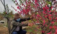 Người dân làng đào Nhật Tân đang cắt tỉa cành, chuẩn bị vụ đào mới