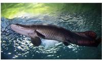 Phát hiện 'Quái vật sông' Amazon chết ở Florida