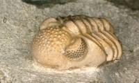 Trilobite, loài sinh vật cổ đại có siêu mắt kép