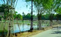 Tre cán giáo, loại cây trồng được cho là không liên quan gì đến thắng cảnh hồ Tịnh Tâm hiện được trồng khá dày để giữ đất tại đê Kim Oanh thuộc thắng tích này.