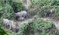 Đàn voi có cả voi con lần đầu tiên ghi nhận tại Quảng Nam