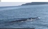 """cá voi """"khủng"""" xuất hiện ở vùng biển Cù Lao Chàm, Quảng Nam"""