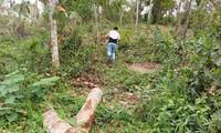 Vào rừng phòng hộ di sản Mỹ Sơn, tận thấy cây lâu năm bị chặt hạ