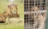 Không phải Cá Tháng Tư đâu: Sở thú treo biển chuồng sư tử, nhưng bên trong là… chú chó con