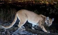 Mỹ: Người mẹ tay không đánh nhau với sư tử núi để cứu sống con trai 5 tuổi