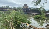 Thừa Thiên - Huế: Trạm xe buýt bị hư hại, cây xà cừ trăm tuổi bật gốc vì bão số 13