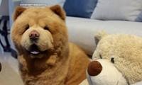 Mời bạn gặp Chowder - chú chó giống hệt gấu bông siêu to khổng lồ