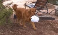 Chú chó giao thức ăn lúc cách ly