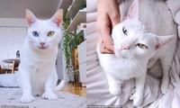 Bé mèo bị chủ cũ vứt đi chỉ vì 2 mắt có 2 màu khác nhau đã tìm được gia đình mới