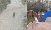 Bị ngăn cách bởi tường rào trường đại học, hai chú chó cứ ngồi đợi nhau kể cả lúc trời mưa