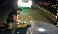 Chú voi con bị xe máy tông khi sang đường, may gặp được bác sĩ thực hiện hồi sức cứu sống