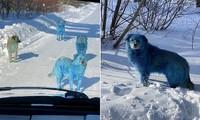 Những chú chó hoang với bộ lông màu xanh da trời khiến ai cũng sốc: Chuyện gì đang xảy ra vậy?