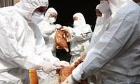 Tổ chức Y tế Thế giới cảnh báo khi virus H5N8 đã lây từ gà sang người: Nguy hiểm thế nào?
