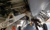 Chim mắc kẹt vào bộ phận hạ cánh của máy bay F-16.