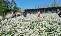 Vườn cúc họa mi đẹp mộng mơ giữa lòng thành phố Đà Nẵng - ảnh ĐT