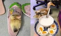 Mua vịt về chăm như thú cưng, cô gái hào hứng khoe mùa dịch không lo thiếu trứng để ăn