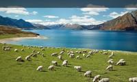 """Bài dự thi """"New Zealand - Bật mí trăm điều thú vị"""": New Zealand và niềm mơ của bố"""