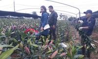 Người dân xã Song Mai hối hả vào vụ hoa Tết
