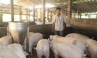 Người nuôi lợn phấn khởi vì bán được giá cao dịp Tết