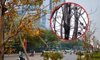 """Hàng phong lá đỏ trên đường Nguyễn Chí Thanh thành """"củi khô"""", Hà Nội thay thế bằng cây gì?"""