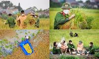 Khoảnh khắc ấm áp giữa mùa dịch: Lực lượng công an hỗ trợ bà con Bắc Giang thu hoạch lúa