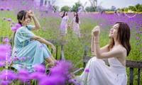 Giới trẻ Hà Nội rủ nhau check-in ở cánh đồng hoa oải hương rộng hàng chục nghìn mét vuông
