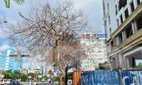 Nhiều cây xanh trên phố Lê Hồng Phong (Ngô Quyền, Hải Phòng) chết bất thường.